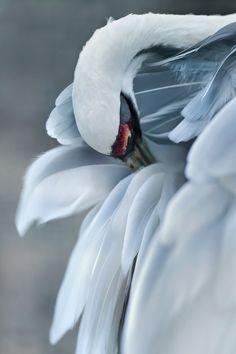 Photo by magorzatakuriata Pretty Birds, Beautiful Birds, Animals Beautiful, Beautiful Images, Beautiful Swan, Photo Animaliere, Photo Art, Cute Baby Animals, Animals And Pets
