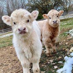 Cute Baby Cow, Baby Cows, Cute Cows, Baby Farm Animals, Baby Elephants, Baby Sheep, Garden Animals, Fluffy Cows, Fluffy Animals