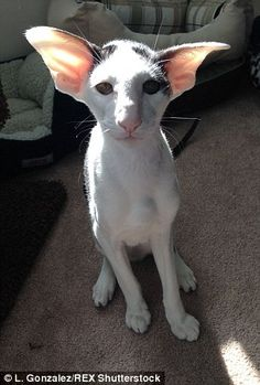 With his green, almond-shaped eyes, slender body and enormous ears,  Teddy the kitten (pictured) bears a striking resemblance to Dobby the house elf, from J.K. Rowling's Harry Potter series