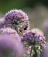 Allium, In Orbit PPAF