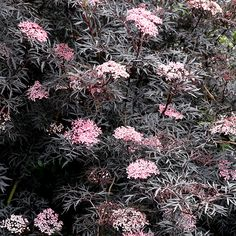 Existing. Prune to ground in early Feb. A striking plant with dramatic almost black, dissected foliage