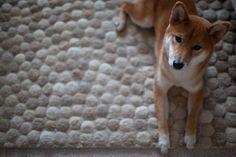 Shiba waiting <3