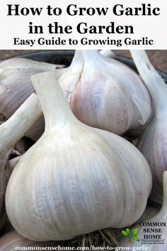 Learn how to grow garlic, and get two harvests from one plant with yummy garlic scapes. Includes storage tips and explanation of garlic types.
