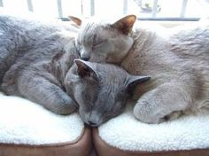 2 cuddly Burmese cats...or me and Heather napping... :)