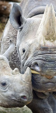 Rhinoceros ~ With Her Young Calf.