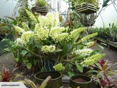Orchid - Dendrobium speciosum - Green pot Taupo for sale on Trade Me, New Zealand's auction and classifieds website Plant Catalogs, Home Living, Orchids, I Am Awesome, Flora, Nursery, Landscape, Garden, Garten