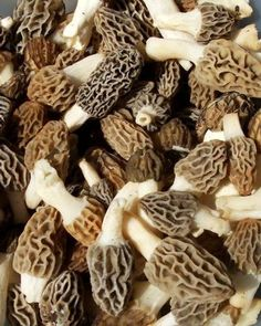 morels. Ready for spring to go mushroom hunting!