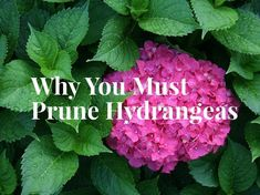 hydrangea garden care How to Prune Hydrangeas - Gardening Channel Hydrangea Potted, Hydrangea Landscaping, Hydrangea Care, Landscaping Plants, Modern Landscaping, Garden Plants, Shade Garden, Hydrangea Shrub, Outdoor Plants