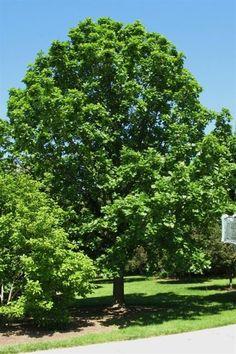 Bur Oak (Mossycup Oak) ...