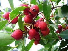 Strawberry Guava Tree.