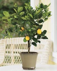 3-4 Year Old Improved Meyer Lemon Tree in Grower's Pot, 3 Year Warranty by Lemon Citrus Tree. $20.99. Sweet Meyer Lemons are Perfect for Lemonade, Easy to Grow(CANNOT SHIP TO CALIFORNIA AND ARIZONA). 3'Tall (Not Including Root System Height) Upon Receipt, Shipped in a Black Grower's Pot, Except for Florida. The Foliage is Lush with Fragrant Blossoms, Delicious Fruit, Continous Producer. Can be kept as a house plant. 3 Year Warranty!(UNAVAILABLE IN CALIFORNIA AND A...