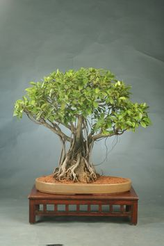 Natal Fig bonsai