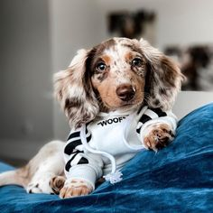 """Get fantastic tips on """"dachshund puppies"""". They are accessible for you on our website. Dapple Dachshund Puppy, Long Haired Dachshund, Funny Dachshund, Cute Little Animals, Cute Funny Animals, Cute Dogs And Puppies, Baby Dogs, Mini Puppies, Puppies Puppies"""