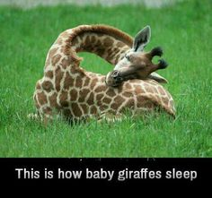 This is how baby giraffes sleep. :)  Follow: +Interesting Things
