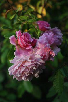 ~Rosa 'Cornelia' (U.K., 1925)