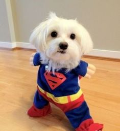 I may not look big in stature but this Super Dog makes up for it in heart.  Super Dog, to the rescue!