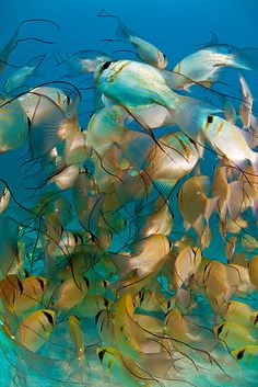 Schooling Threadfin Pearl Perches at Ningaloo Reef, Western Australia ~ by aabzimaging