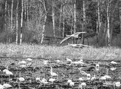 The great spring migration of 2016 has begun! Tundra Swans are building in numbers in select flooded fields.