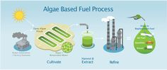The process for making algae into fuel at a very base level is this: Sunlight and are the source of energy and carbon dioxide, rather than sugar or other organic material. Stupid Images, Oil Substitute, Plan Nacional, Aquaponics System, Greenhouse Gases, Energy Technology, Reading Material, Electrical Engineering, Alternative Energy