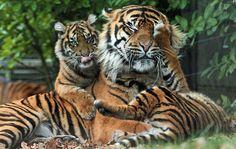 sumatraanse tijger burgerszoo IMG_0397 | Flickr