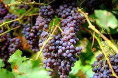Eslovenia una tierra de vino en pujanza