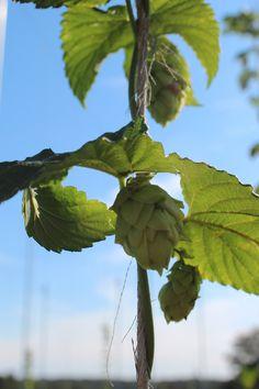nugget 2, hop farm, hop yard, hop growing, hopping, hops, ohio hop farm
