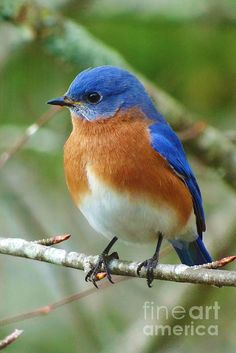 Colorful BIrds | Bluebird On Branch - one of my fave North American birds.