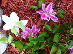 untended clematis blooms
