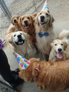 The party has arrived. | Community Post: 60 Times Golden Retrievers Were So Adorable You Wanted To Cry