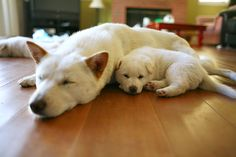 Korea's 53rd National Treasure Is a Gorgeous Dog You've Never Heard Of... The Jindo Dog