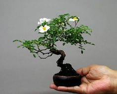 Japanese Bonsai. #bonsai