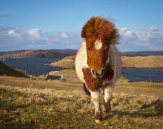 Shetland Pony from Shetland Islands, Scotland. She's a ginger!