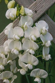 Rosenvial Platterbse 'Weiße Perle' - Lathyrus latifolius 'Weiße Perle'