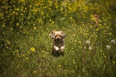 133/365. my doggies running wild in a meadow full of Rapeseed (Brassica napus), also known as rape,  #CY365 #doggy #cute