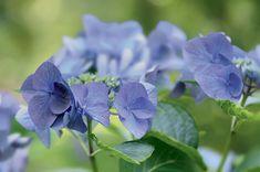 Grâce au bouturage d'hortensias, dans le meilleur des cas, vous récupérerez une bonne douzaine de plants, car l'opération n'est pas très compliquée.