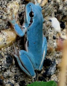 Blue tree frog.Rainette Meridionale.Hyla-meridionalis.Stripeless Tree Frog.