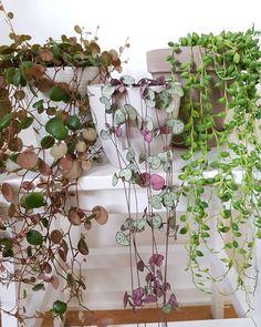 peperomia pepperspot, ceropegia woodii, senecio radicans