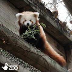 One of red panda twins at Lincoln Children's Zoo in Lincoln, Nebraska.