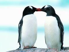 Penguins. te amo