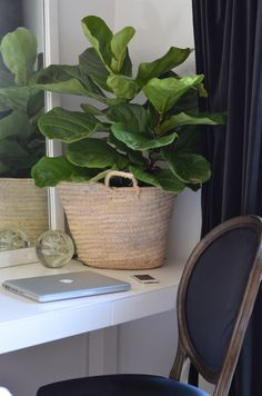 Fiddle Leaf Fig - a great and easy way to decorate your home www.thenester.com