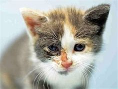 🙌💜 Safe: 7/23/17 : BROOKLYN CENTER *💜*MUST BE PULLED BY A NEW HOPE RESCUE** ARTICHOKE – A1119272 FEMALE, CALICO, DOMESTIC SH MIX,4 weeks STRAY – EVALUATE, NO HOLD Reason STRAY Intake condition EXAM REQ Intake Date 07/21/2017, From NY 11422, DueOut Date 07/21/2017, old kitten needs foster