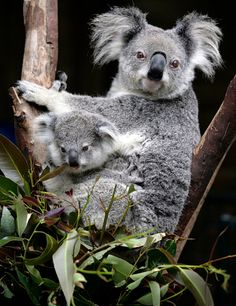 Koalas - Koalas are marsupials that inhabit the forests of eastern Australia. There are a few differences between northern and southern subspecies. They both range in length from 2-3 feet, but northern koalas are on the smaller side, weighing 9-19 pounds, while southern koalas weigh 15-29 pounds. Southern koalas also have thicker fur to keep them warm in the colder winters.