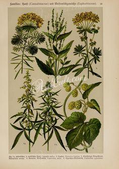 cannabis sativa, humulus lupulus, mercurialis annua, euphorbia esula, euphorbia cyparissias      ...