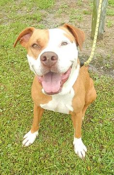 Becca Is An Adoptable Pit Bull Terrier Dog In Binghamton Ny Becca Was Rescued From A Nyc