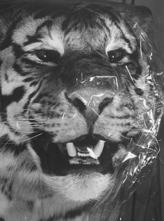 Closeup of a Siberian tiger covered in cellophane by its taxidermist while  in storage at the American Museum of Natural History.
