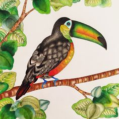 "Toucan from the Millie Marotta Animal kingdom colouring book @meesharose | Join my grown-up coloring group on fb: ""I Like to Color! How 'Bout You?"" https://m.facebook.com/groups/1639475759652439/?ref=ts&fref=ts"