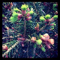 Picea abies 'Coolwyn Globe' | Plants Map