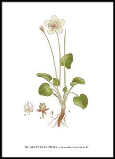 Printit kirjasta Nordens Flora, vilukko.
