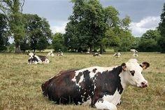 Orne (61). La vache Normande à la conquête du monde ...!!!