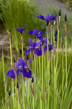 Caesar's Brother Siberian Iris - Excellent late spring/early summer lush green foliage with brilliant deep purple flowers. These are just blooming in my yard. Terrace Garden, Water Garden, Fence Garden, Rain Garden, Iris Flowers, Purple Flowers, Beautiful Gardens, Beautiful Flowers, Dutch Iris